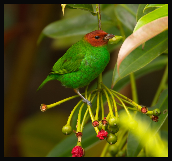 Bay-headed-Tanager 2