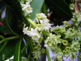 Ackee blossoms (Blighia sapida)