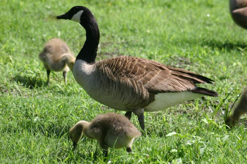 Baby Geese & Adult