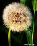 Dandelion puff.jpg