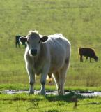 Young Steer