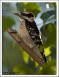 downey_woodpecker_DSC_2023.jpg