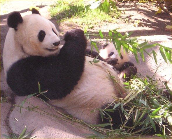 Baby panda at the San Diego zoo