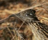 Greater Roadrunner, September 2004