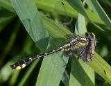Spine-crowned Clubtail - Gomphus abbreviatus