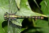 Maine Snaketail - Ophiogomphus mainensis