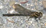 Dusky Clubtail - Gomphus spicatus