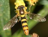 Sphaerophoria sp. (male)