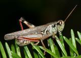 Melanoplus femurrubrum - Red-leg Grasshopper (male)