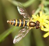 Sphaerophoria sp. (female)