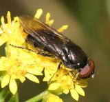 Cheilosia sp. (male)
