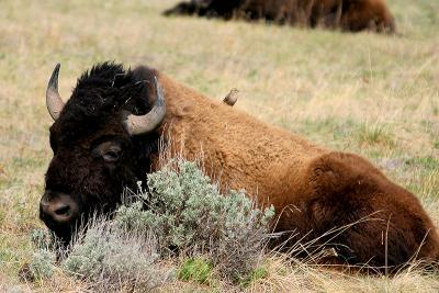 Bison 100