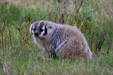 Badger Little America