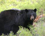 Bear 135