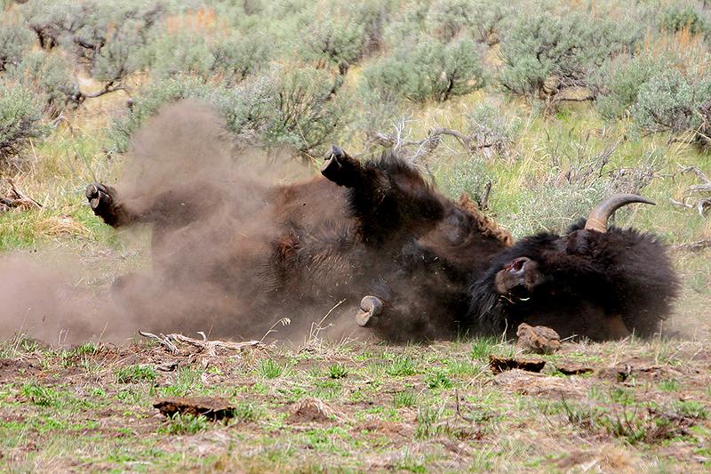 Bison 105