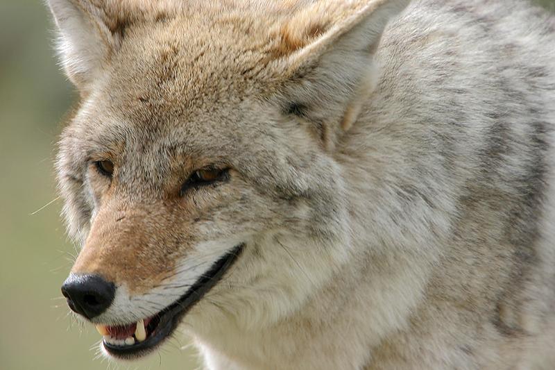 Coyote 130