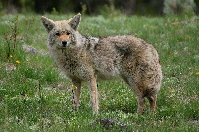 Coyote 240