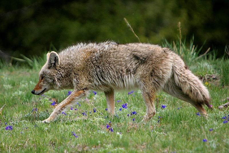 Coyote 150