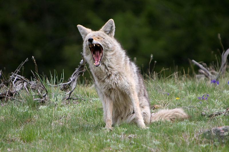 Coyote 60