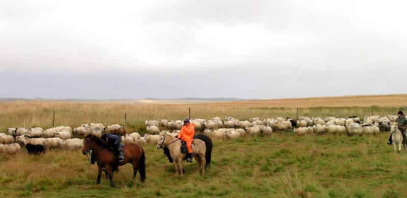 Sheep Herding in Iceland