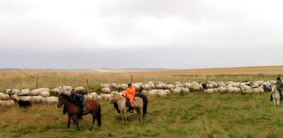 Sheep Herding in Iceland