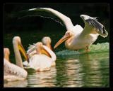 Landing Rosy Pelican October 2004
