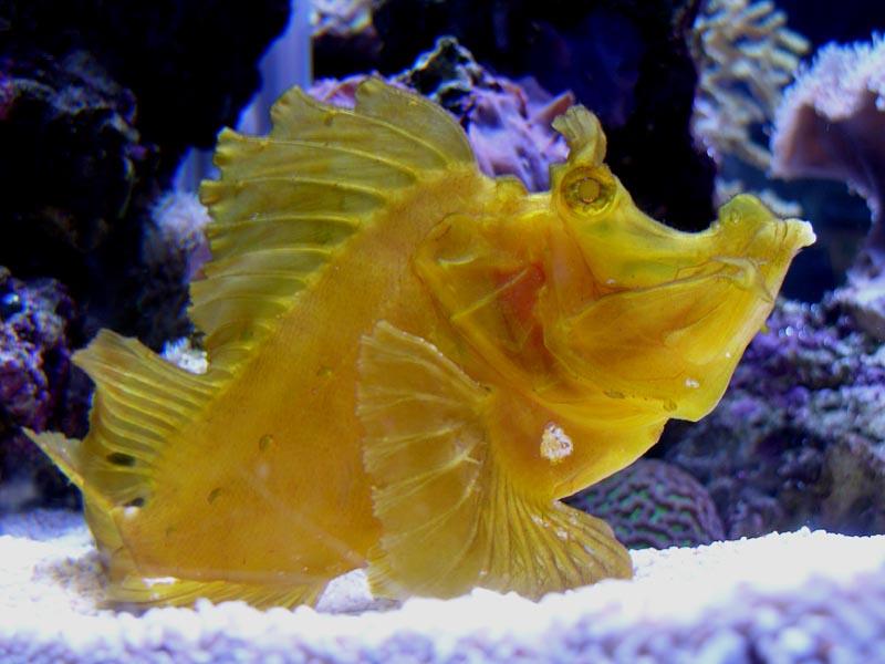 Tropical Scorpian Fish