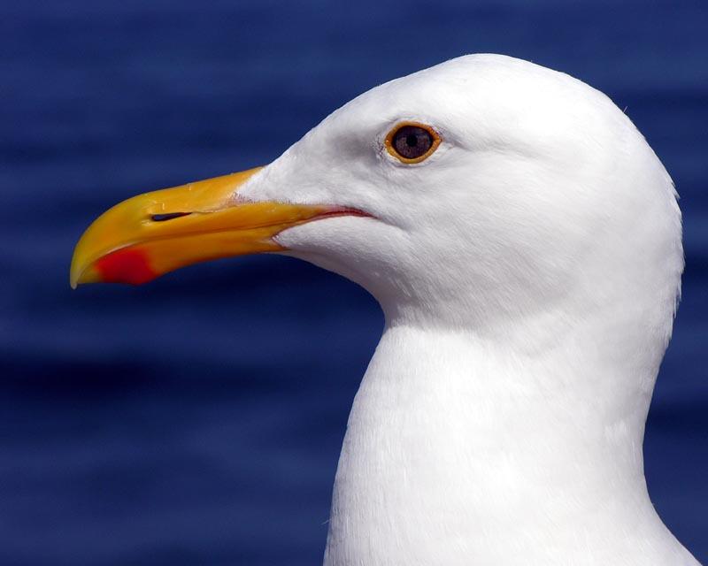 Sea Gull Portrait - (redone)