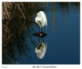Great White Egret looking in the Early Morning Mirror