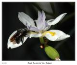 Giant Bumble Bee visits the African Iris