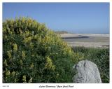 Yellow Lupine blossoming at the Beach
