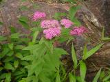 Spirea sp.