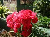 Cluster Rose.jpg