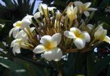Plumeria Alba (Frangipani).jpg