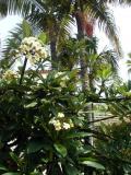 Plumeria  and Royal Palms.jpg