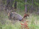 Moose and newborn calf - Grand Teton N.P.