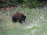 Black Bear - near Cooke City