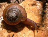 Baird Woods snail - 1