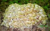 Polyporus umbellatus -- mid June
