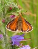 European Skipper on Viper's Bugloss flowers - 1