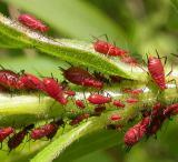 aphids-closer.jpg