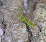 Assassin bug nymph  -- Zelus sp.