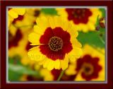 Gaillardia / Indian Blanket / Fire Wheel