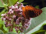 Fritillary on Common Milkweed