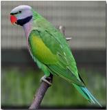 Derbyan Parakeet