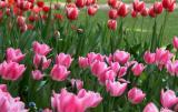 Descanso Gardens Tulips
