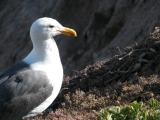 Mother seagull in Pismo Beach, CA
