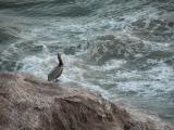 Pelican at Pismo Beach, CA