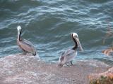 Pelicans at Pismo Beach, California