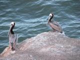 Pelicans at Pismo Beach, CA